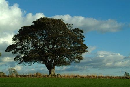 Teixo - Árvore sagrada de Odin