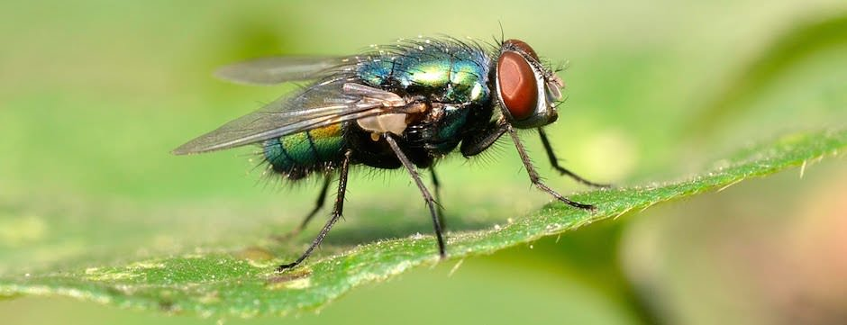 quanto tempo vive uma mosca
