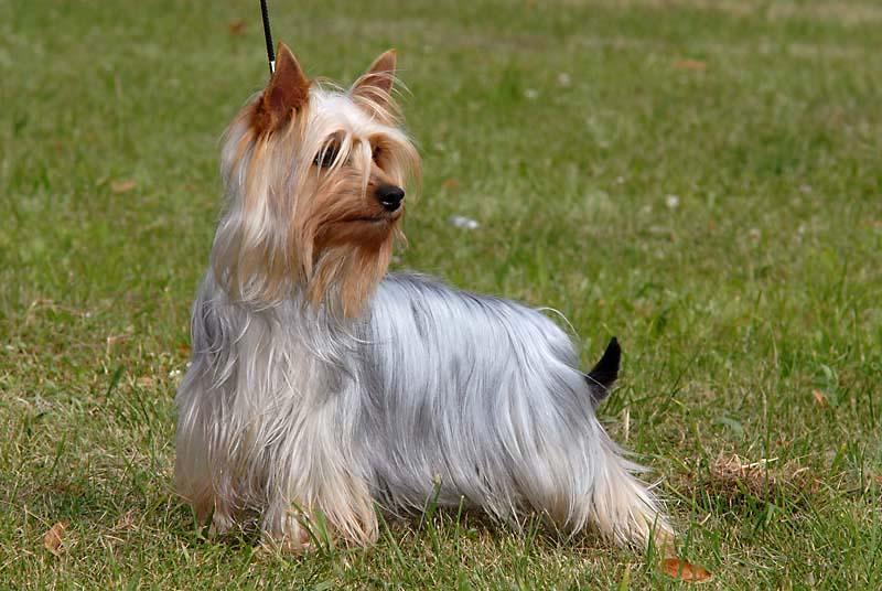 Australian Silk Terrier a